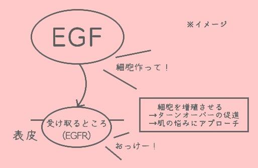 EGFの効果のイメージ